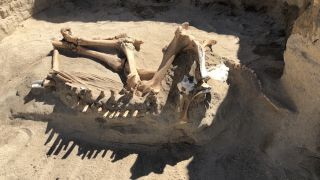 After unearthing its skeleton, researchers initially thought this horse dated to the last ice age. New analyses showed otherwise.