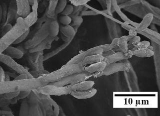 Nodulisporium fungus