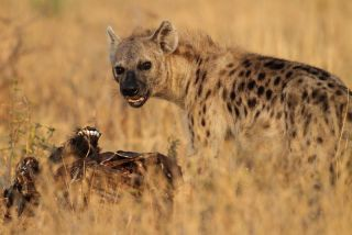 Hyena eating a carcass and growling.