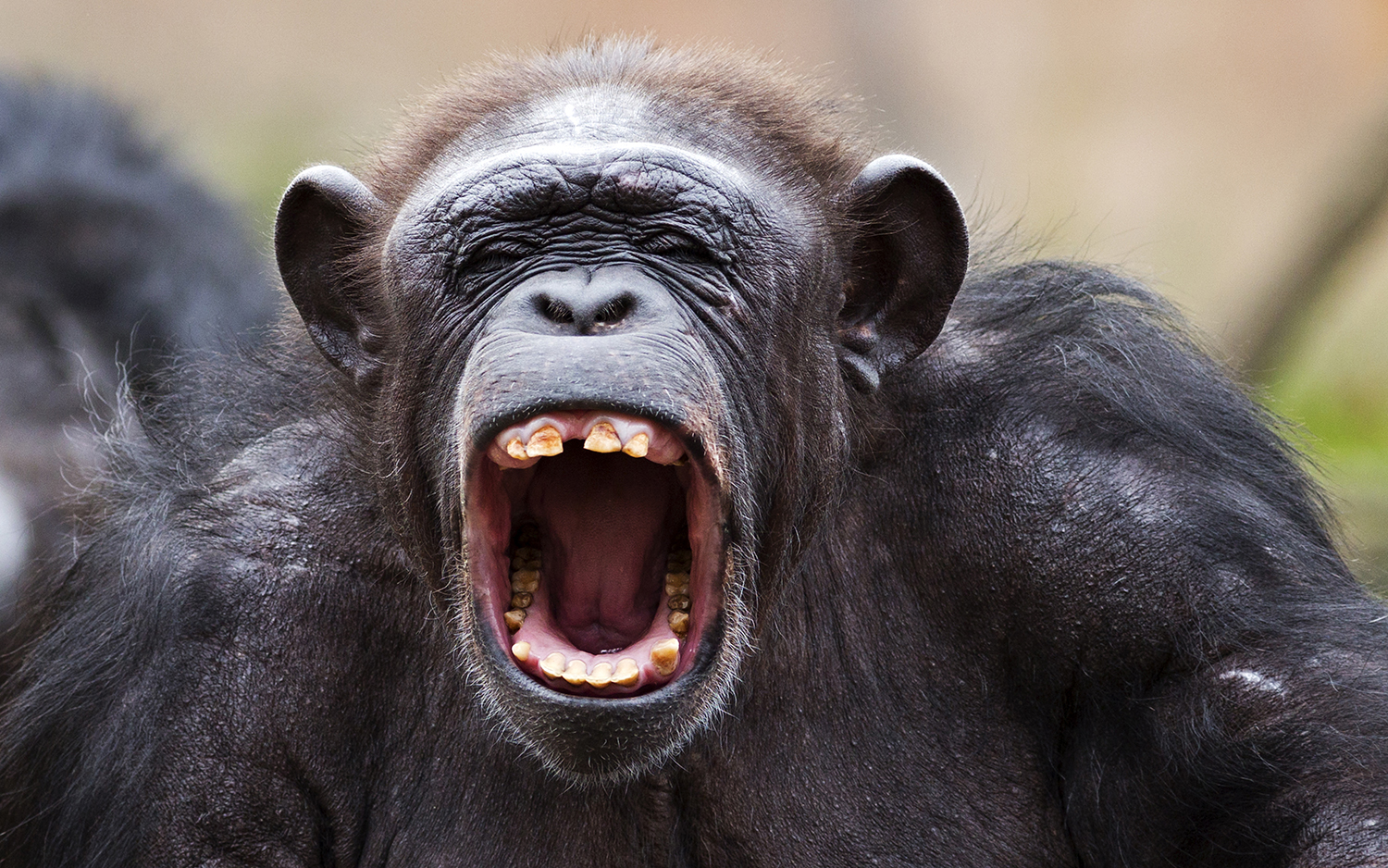 Chimps Seen Sucking Brains from Monkeys' Heads | Live Science