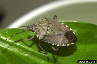"""Brown marmorated stink bugs feed on """"about anything that makes a seed or a fruit,"""" said Ames Herbert, a Virginia Tech University entomologist."""