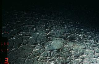 Brittle stars (ophluroids)