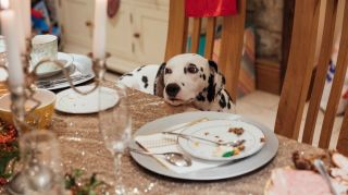 Dog Eating Christmas Leftovers