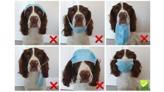Dog demonstrating how to wear face mask