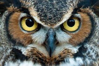 Greath horned owl with golden eyes