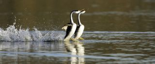 grebe-water-walking-100610-02