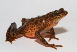 toad mountain harlequin frog (Atelopus certus)