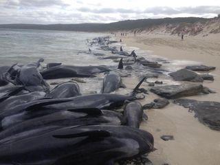 short-finned pilot whales stranding
