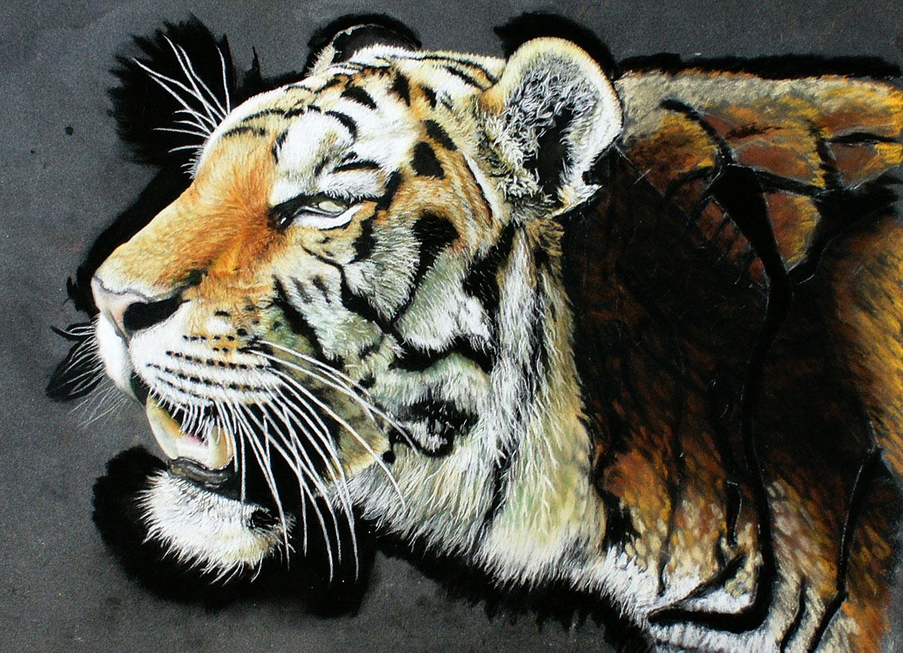 Tiger portrait with hard pastel sticks
