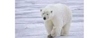 polar bear, body temperature, infrared light