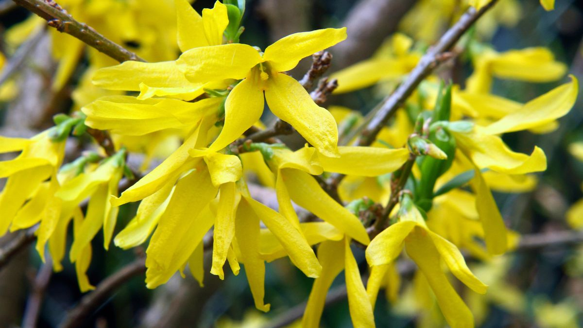 How to prune forsythia: do it the right way and it will make a real difference