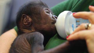 Baby Gorilla - Bristol Zoo