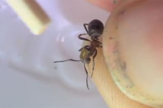 A radio tag, the metallic rectangle, has been attached to the back of this ant.