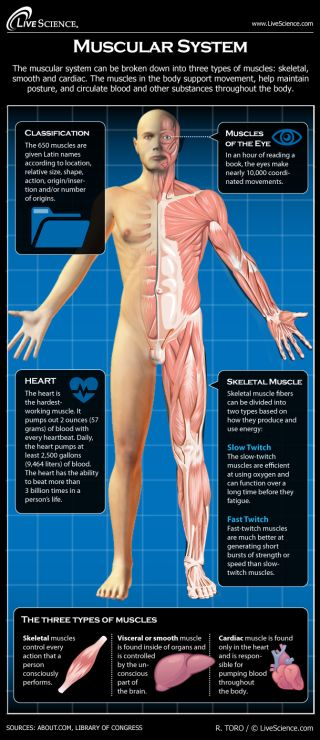 Infographic: How the human body's muscles work.