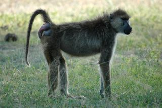 Noodle, a female baboon from Kenya, shows off her bright-red, swollen bottom, signaling ovulation is near.