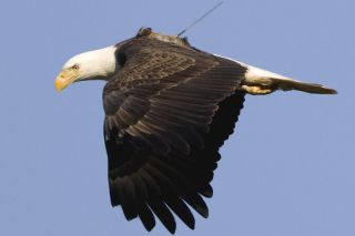 bald eagle, conservation