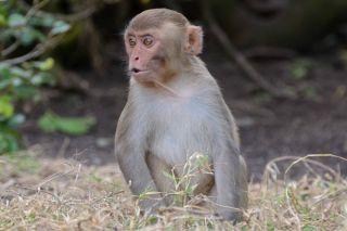 Macaque monkey, facial recognition