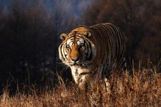 conservation, WCS, Wildlife Conservation Society, amur tigers