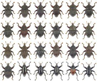 Trigonopterus weevils