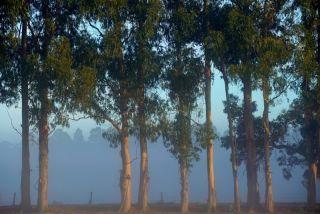 tasmanian blue gum trees
