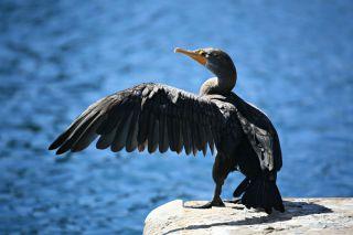Cormorant wing