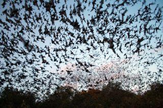 bats, flying, fern cave national wildlife refuge, alabama