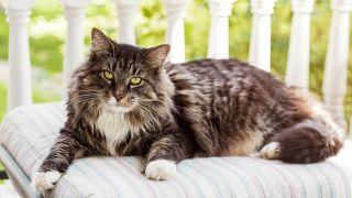 calmest cat breeds