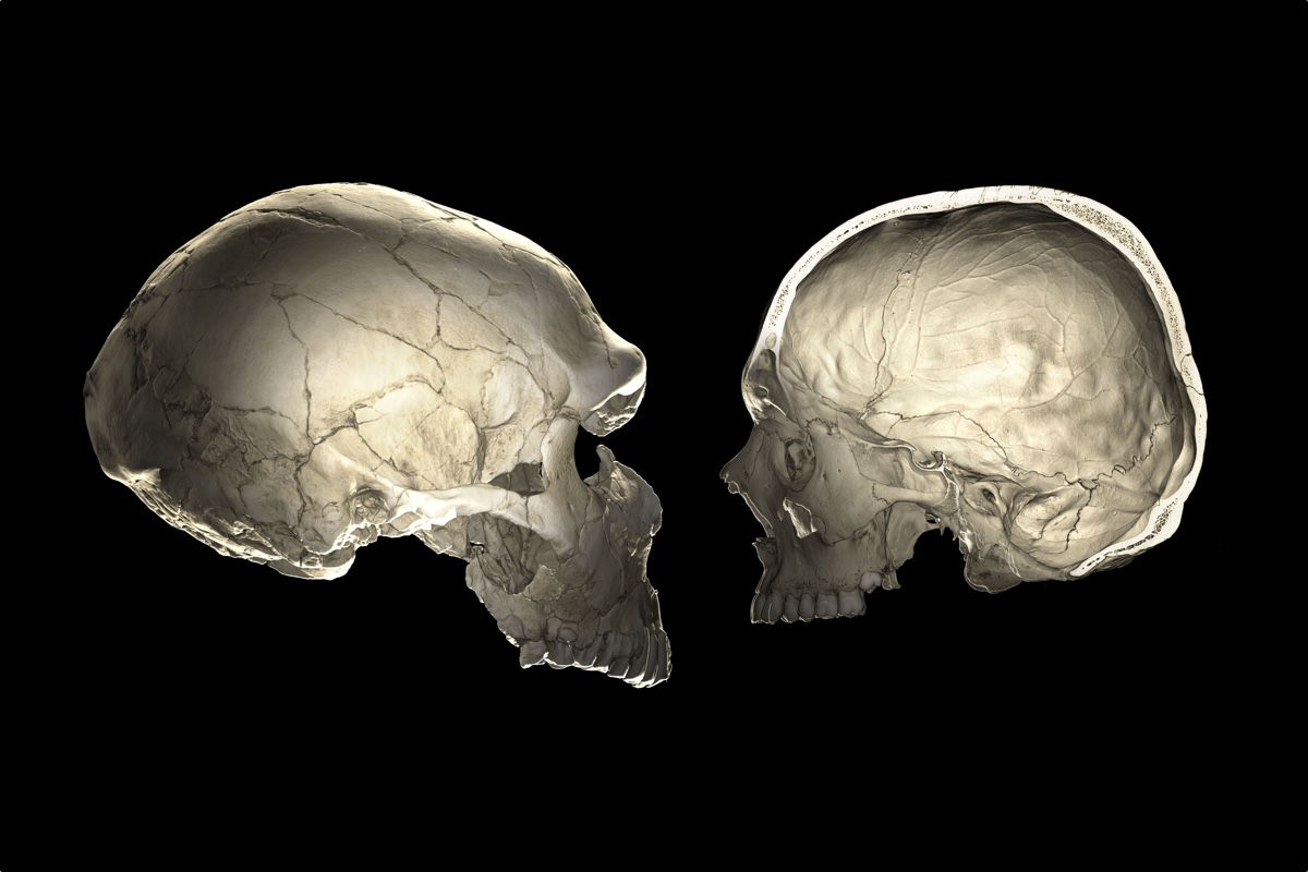 Do You Carry Neanderthal DNA? The Shape of Your Skull May