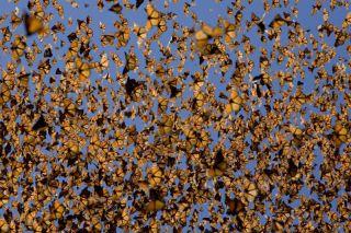 monarch butterfly population, monarch butterfly declines, monarchs in mexico, butterflies, monarch hibernation, where monarch butterflies go in winter