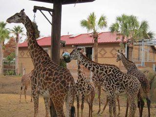 giraffes-houston-zoo-02