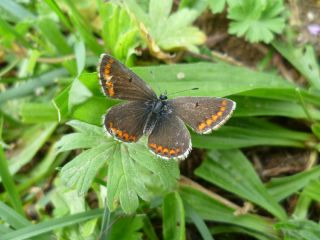 Warming has allowed the brown argus butterfly to rapidly expand its range in England and Wales.