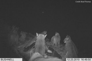 Clan of cougars caught on camera near Wenatchee, Washington. Credit: Brad Thomas