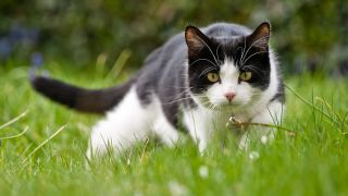 Black and white cat stalking a mouse in the grass