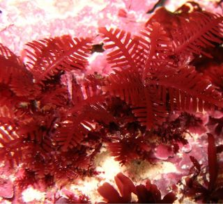 Australian seaweeds are threatened by global warming.