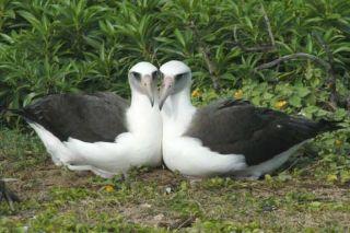 Paired female Laysan albatrosses.