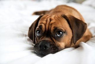 Cute puggle puppy on bed