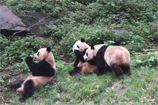giant-pandas-100729-02