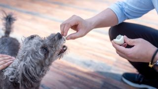 Can dogs eat eggs? Dog eating piece of hard boiled egg out of mans hand