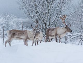 Reindeer in the snow in Scandinavia.