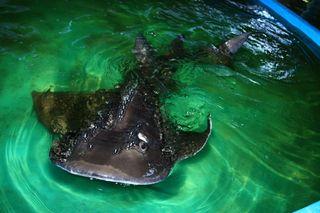 shark-ray