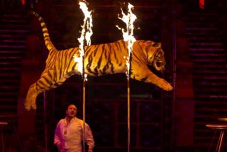 A circus tiger jumps through a ring of fire
