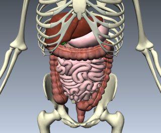 Biodigital human digestive system