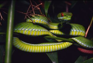 Facts About Vipers | Live Science