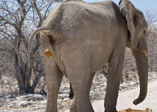 Elephant urinating and defecating in Etosha National Park, Namibia.