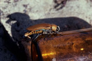 beetle attempts to mate with a brown beer bottle