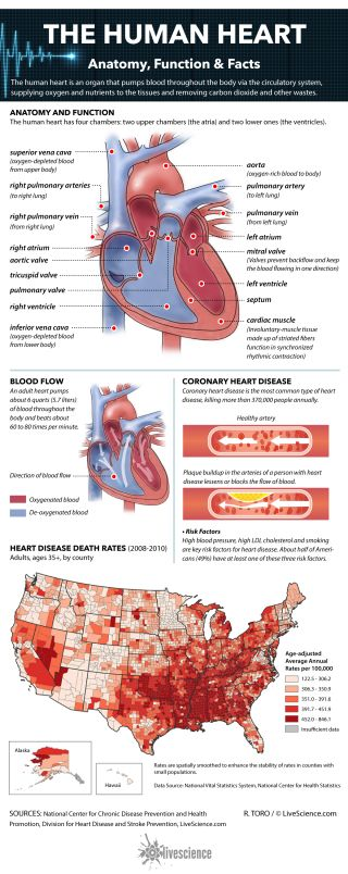Facts about the human heart.