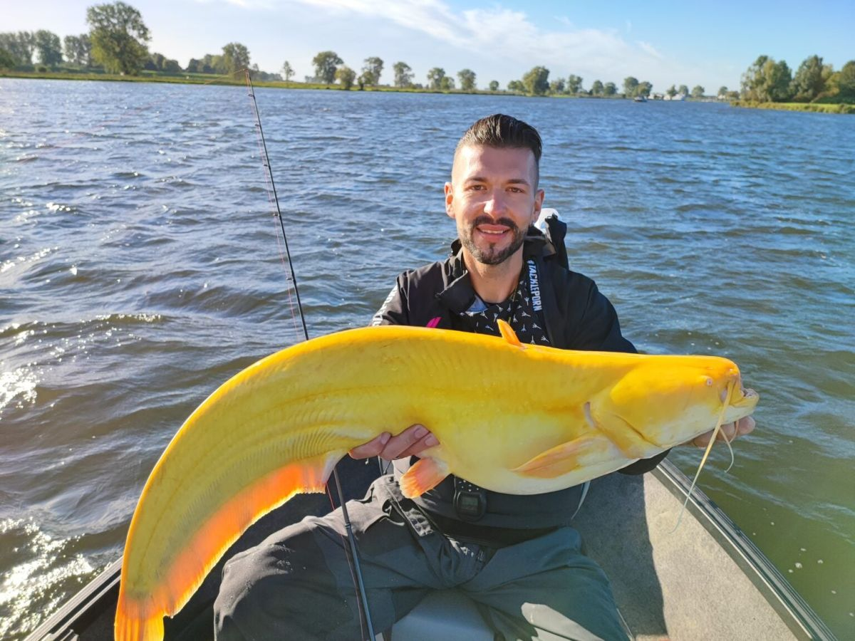 Extremely rare, bright-yellow catfish caught in the Netherlands