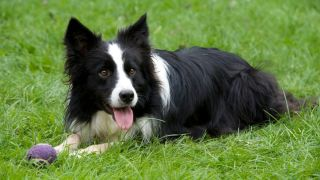 facts about border collies