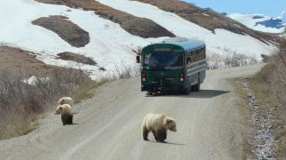 A mother grizzly bear and two of her cubs wander in the road in front of a tour bus returning from the Visitor Center in Denali National Park Alaska