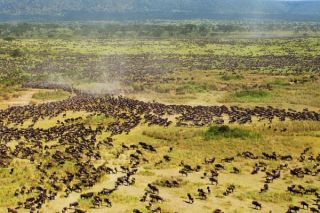 wildebeest-serengeti-migration-100901-02